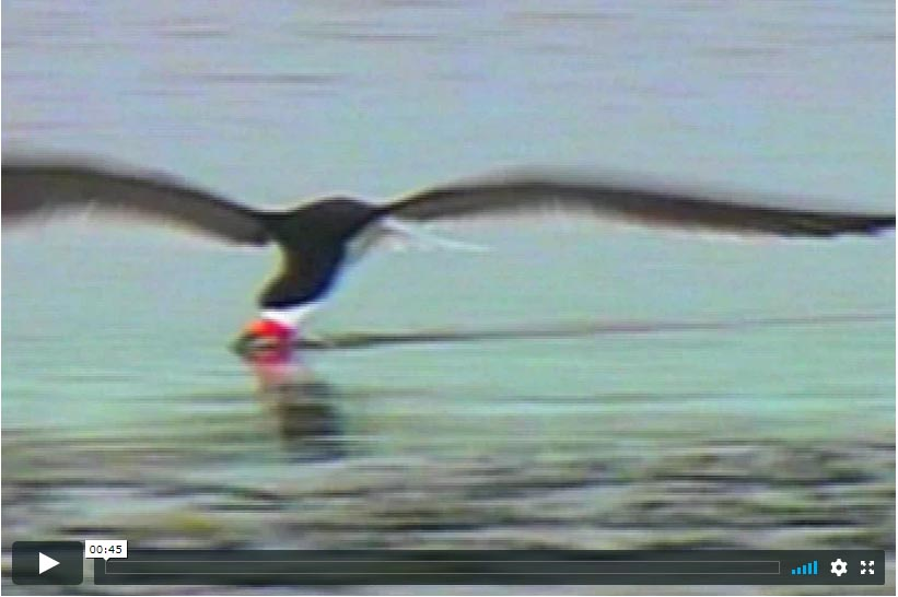 Black Skimmers Feeding Video